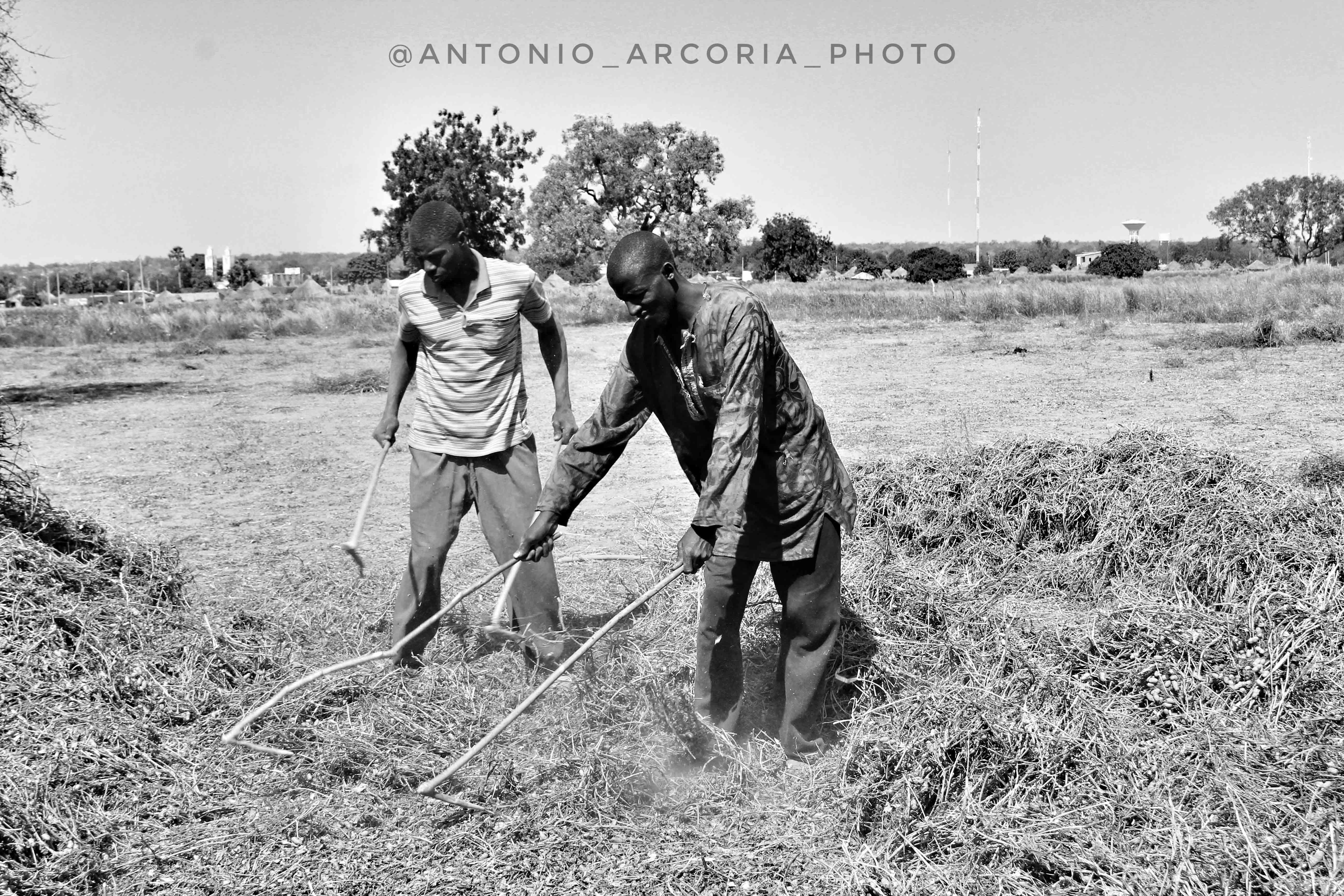 L'economia rurale senegalese: tra arachidi e cotone.